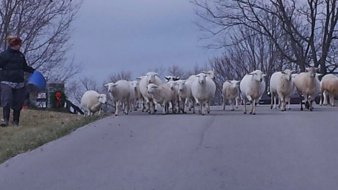 Moving sheep to pasture